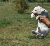 Cachorros de león blancos llevados en el parque zoológico Foto de archivo libre de regalías