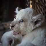 Cachorros de león blancos llevados en el parque zoológico Imágenes de archivo libres de regalías