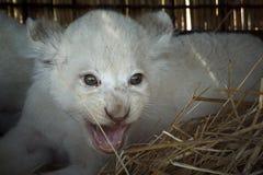 Cachorros de león blancos llevados en el parque zoológico Foto de archivo