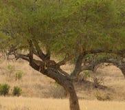 Cachorros de león dormidos para arriba en un árbol Fotografía de archivo libre de regalías