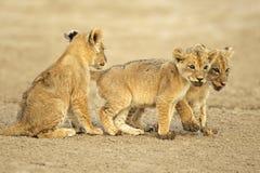 Cachorros de león lindos imagen de archivo