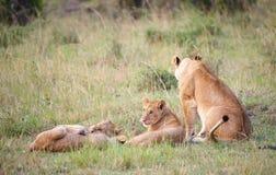 Cachorros de león (panthera leo) con su madre Fotos de archivo libres de regalías