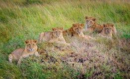 Cachorros de leones que descansan en la hierba, Masai Mara, Kenia, África Foto de archivo libre de regalías