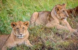 Cachorros de leones que descansan en la hierba, Masai Mara, Kenia, África Imagen de archivo libre de regalías