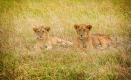 Cachorros de leones que descansan en la hierba, Masai Mara, Kenia, África Fotos de archivo