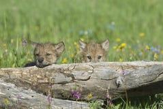 Cachorros de lobo fotografía de archivo