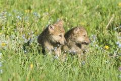 Cachorros de lobo en prado del resorte Imagenes de archivo