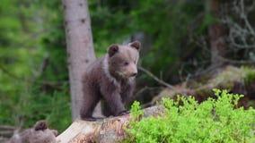 Cachorros de oso de Brown en bosque almacen de metraje de vídeo