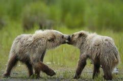Cachorros de oso de Brown que juegan y que se besan imagenes de archivo