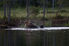 Cachorros de oso de Brown que nadan en el lago en Finlandia Imagen de archivo libre de regalías