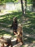 Cachorros de oso en el baile del parque zoológico Imagen de archivo