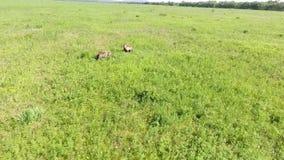 Cachorros de oso jovenes de Brown inquisitivos almacen de video