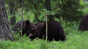 Cachorros de oso que juegan en el bosque almacen de video