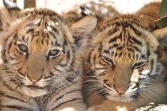 Cachorros de tigre Fotos de archivo libres de regalías