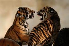 Cachorros de tigre Imagenes de archivo