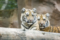Cachorros de tigre Fotografía de archivo