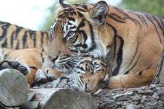 Cachorros de tigre con la mamá fotografía de archivo