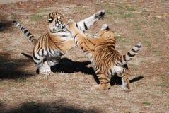Cachorros de tigre en el juego imagenes de archivo