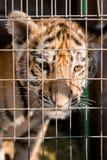 Cachorros de tigre rayados en una jaula Fotografía de archivo libre de regalías
