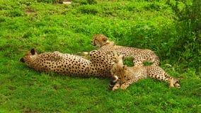 Cachorros del guepardo con la madre metrajes