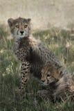 Cachorros del guepardo en el Masai Mara Foto de archivo