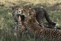 Cachorros del guepardo en el Masai Mara Imagen de archivo