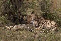 Cachorros del guepardo en el Masai Mara Imágenes de archivo libres de regalías
