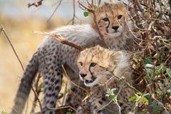 Cachorros del guepardo en un arbusto Imagen de archivo