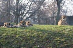 Cachorros del guepardo que ponen así como su familia el guepardo se sabe para su velocidad foto de archivo libre de regalías