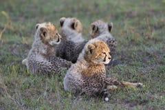 Cachorros del guepardo que se relajan Foto de archivo