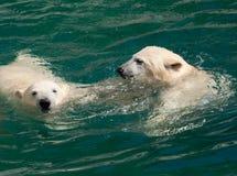 Cachorros del oso polar en el agua Imagenes de archivo