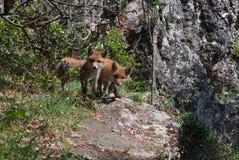 Cachorros del zorro rojo Imagen de archivo libre de regalías