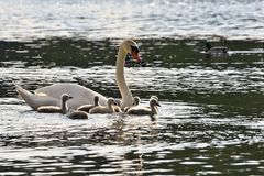 Cachorros hermosos del cisne en la charca Fondo coloreado natural hermoso con los animales salvajes primavera Imágenes de archivo libres de regalías