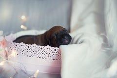 Cachorros recién nacidos del pequeño ridgeback lindo Imágenes de archivo libres de regalías