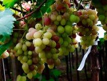 Cachos de uva стоковое фото rf