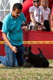 CACIB player - schnauzer dog Royalty Free Stock Photo