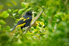 Cacicus cela, Yellow-rumped Cacique, yellow black bird sitting on the tree. Wildlife scene form nature, Trinidad and Tobago. Wildlife stock images