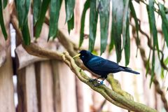 Cacicus haemorrhous bird sitting on the branch with wood background and tree leafs Royalty Free Stock Photo