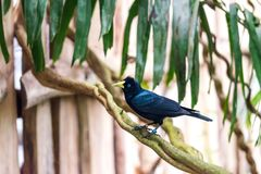Cacicus haemorrhous bird sitting on the branch with wood background and tree leafs Stock Image