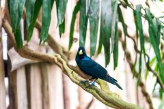 Cacicus haemorrhous bird sitting on the branch with wood background and tree leafs Royalty Free Stock Image