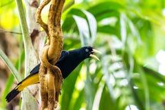 "Cacicus yà ""llow飞过了在分支的鸟,蓝眼睛,雨林,异乎寻常的鸟野生生物照片 免版税库存照片"