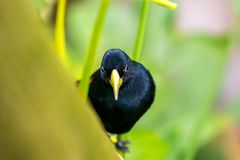 "Cacicus yà ""llow飞过了在分支的鸟,蓝眼睛,雨林,异乎寻常的鸟野生生物照片 图库摄影"