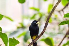 "Cacicus yà ""llow飞过了在分支的鸟,蓝眼睛,雨林,异乎寻常的鸟野生生物照片 库存照片"