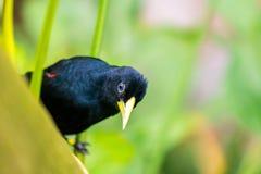 "Cacicus yà ""llow飞过了在分支的鸟,蓝眼睛,雨林,异乎寻常的鸟野生生物照片 库存图片"