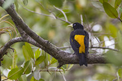 Cacique jaune-rumped Photo stock