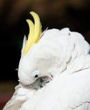 cackatoo оперяется белый желтый цвет Стоковые Изображения RF