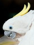 cackatoo оперяется белый желтый цвет Стоковые Изображения