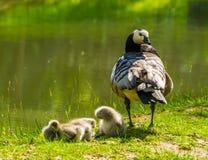 Cackling χήνα μητέρων με τα νεανικά χηνάρια δευτερεύον, τροπικό specie πουλιών νερού από την Αμερική στοκ εικόνες με δικαίωμα ελεύθερης χρήσης