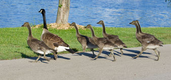The cackling geese are running Royalty Free Stock Image