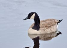Cackling Goose Royalty Free Stock Image